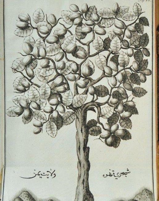 """Tablica IV przedstawiająca gatunek kawy zwany """"Beitulfaki Caffe Planta"""" z dzieła """"Jacobi Sponii medici…"""""""